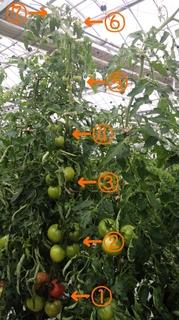 トマトの樹.jpg